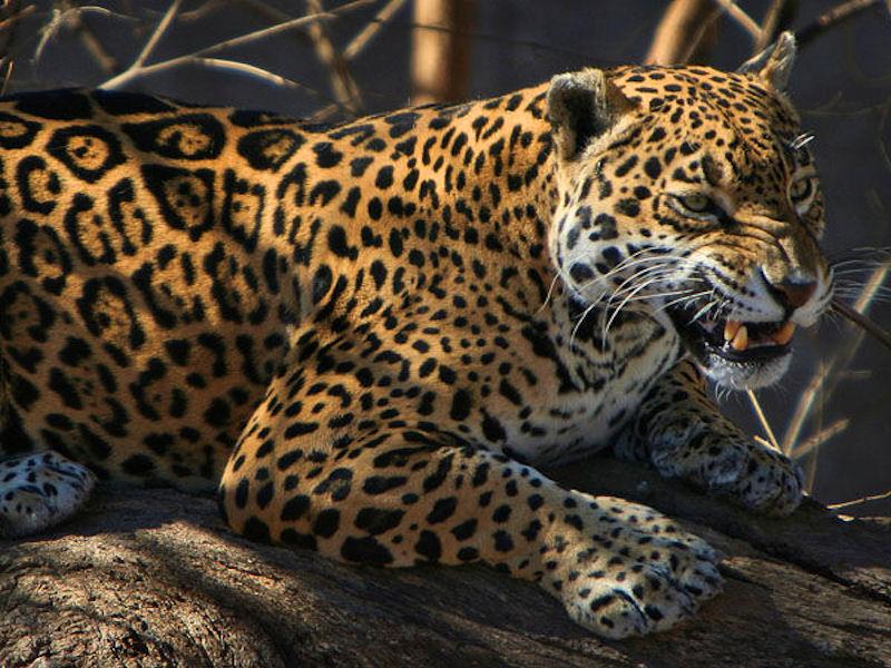 Wallpaper Raubkatzen 3 Tiger Loewe Leopard Lux Puma